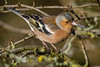 Chaffinch (jasty78) Tags: chaffinch bird birdwatching kinghornloch goldenhour kinghorn forth fife scotland nikond7200 tamron150600mm 380mm