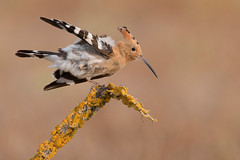 hoopoe (leonardo manetti) Tags: uccello bird nature red colours naturephotography field natural nikkor countryside green animale albero dawn alba summer yellow