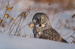 Great Grey Owl / Chouette Lapone (www.andrebherer.com) Tags: bird birds owl chouette hibou nature wildlife fauna greatgreyowl greatgrayowl chouettelapone outaouais quebec canada andrebherer