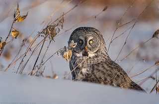 Great Grey Owl / Chouette Lapone