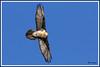 Gypaète os 180112-13-P (paul.vetter) Tags: oiseau ornithologie ornithology faune animal bird gypaètebarbu gypaetusbarbatus bartgeier quebrantahuesos beardedvulture vautour rapace