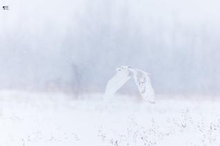 ''Le rêve!'' Harfang des neiges - Snowy owl