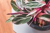 Pink plant (WillemijnB) Tags: 7dwf pink rose roze flora pottedplant topview pretty indoors trend foliage leaves