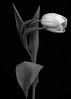 White Tulip...... (Hildingsson) Tags: tulips tulpan bw svartvitt