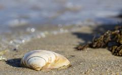 Shell 2018-01-13 (7D_182A0720) (ajhaysom) Tags: shell seaweed brighton beach melbourne australia canoneos7dmkii canon100mmlmacro