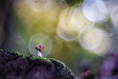 Bubble World (www.studio360fotografia.es) Tags: pentacon80mm setas valdeinfierno olympus omd em10 mushroom proyector projector fungi macro bubble world bokeh desenfoque fantasy fantasia nature naturaleza