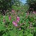Red Campion among lush vegetation