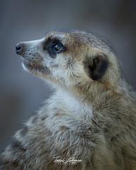 Meerkat (ToddLahman) Tags: meerkat beautiful portrait mammal outdoors sandiegozoosafaripark safaripark canon7dmkii canon canon100400 closeup c