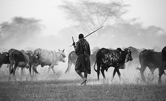 End of afternoon : cattle on its way back to a Masaï village in a swirl of dust - South Rift Valley - Kenya (lotusblancphotography) Tags: africa kenya southriftvalley masaï people gens cattle bétail dust poussière monochrome bw tree arbre