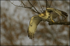 red-tailed hawk (Christian Hunold) Tags: redtailedhawk buteojamaicensis rotschwanzbussard valleyforge christianhunold