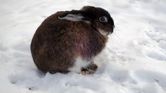Bunny In The Snow (Daphne-8) Tags: rabbit konijn kaninchen lapin coniglio coelho conejo forest wald bosque woods bos woud winter hiver inverno invierno snow schnee nieve neve neige sneeuw animal