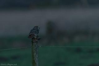 Athene Noctua / Little Owl