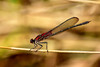 Red Damselfly (thatSandygirl) Tags: outdoor nature wildlife animal insect ohio park damselfly dragonfly red macro wings detail bokeh