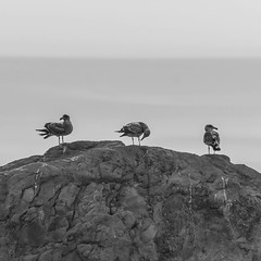 Three Gulls (nhblevins) Tags: bigsur california seagulls beach ocean coast birds rocks