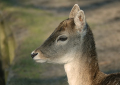 Do a deer a .... (eric zijn fotoos) Tags: holland sonyrx103 animal natuur nature dier fauna netherlands nederland noordholland