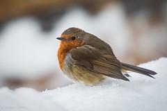 Garden Visitor (6) (finoshea) Tags: midleton eastcork cork ireland irish eccg finbarroshea nature wildlife robin