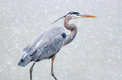 Snow Day (dianne_stankiewicz) Tags: snow heron greatblueheron