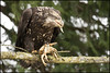 Bald Eagle 0223 web (DAMON WEST www.damonwestphotography.com) Tags: crab baldeagle eagle bc britishcolumbia canada nature wildlife raptor birdofprey