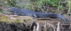 CAE009193a (jerryoldenettel) Tags: 180120 2018 alligatormississippiensis alligatoridae americanalligator collierco corkscrewswampsanctuary crocodilia fl monocots naples reptilia alligator reptile