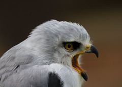 Black Shouldered Kite (Explored) (wayne.withers1970) Tags: small pretty wings fly flying color colorful nature natural colour colourful wild wildlife england summer flickr dof bokeh country countryside outside outdoors alive fauna canon sigma light blur black white bird feathers kite raptor blackshoulderedkite birdofprey