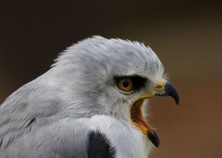 Black Shouldered Kite (Explored)