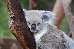 Koala (Phascolarctos cinereus) (Seventh Heaven Photography) Tags: koala animal marsupial herbivore phascolarctos cinereus nikond3200 mammal healesville wildlife sanctuary badgers creek victoria australia