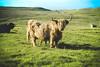 Highland Cow (Dan van Orsouw) Tags: highland cow highlands shetland isles isle islands island scotland canon eos 7d mkii mk ii mk2 2 50 50mm mm f18 f 18 united kingdom great britain mammal mammals horns unst wild wildlife