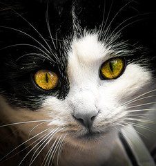 LIly (judy dean) Tags: judydean 2018 365 cat lily face nose eyes whiskers
