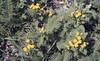 Tansy. Humbolt Lagoon dunes (Mary Gillham Archive Project) Tags: 1987 87321 california dune flower humboldtlagoonsstatepark planttree tansy usa