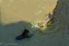onças peleando (barragan1941) Tags: amazonas felinos jaguar mamiferos