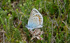 New Forest NP, Hampshire, England (east med wanderer) Tags: butterfly silverstuddedblue england hampshire uk heathland plebejusargus male newforestnationalpark nationalpark