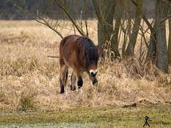 wild horse (martin.smolak) Tags: wild horse nature tree grass water swamp animal czech republik jaromer bird park josefov meadow field forest wood