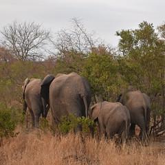 South Africa - Sabi Sands - elephants (Harshil.Shah) Tags: south africa sabi sands safari game reserve elephant herd family wildlife nature