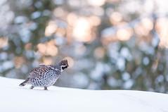 Hazel Grouse (Ville Airo) Tags: hazel grouse pyy suomi finland winter february villeairo bird sunset bokeh