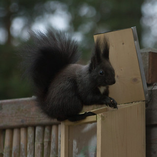 16. Jänner 2018: Wieder Besuch vom Eichhörnchen