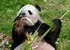 Tian Tian (I see your eyes on my boo. Just keep your paws to yourself.) 2017-05-10 at 9.35AM (MyFoto:)) Tags: pandas endangered vulnerable tiantian mammals giantpanda ailuropoda melanoleuca smithsonian nationalzoo nature conservationdependent wildlife zoologicalgardens washington dc eating bamboo