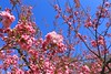 Cherry Blossom (YY) Tags: 日本 青森 弘前市 弘前城 hirosakicastle hirosaki aomori japan cherryblossomfestival sakura