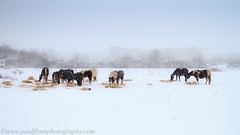 Snow Day (paulflynn) Tags: carrigtwohill eastcork horses