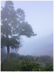 The Tree (prashanthkumar2) Tags: flickraddicts flickr morning mountains hillstation travelphotography tree todaysflickr mist nature photography landscapephotography planetearth savetheplanet natgeotravel araku portrait winterwood windy