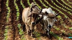 Farmer in Cuba (capellini.chiara) Tags: flickrtravelaward natura nature buoi cuba farmer
