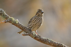 Cassin's Finch (9398) (Bob Walker (NM)) Tags: bird finch cassinsfinch haemorhouscassinii cafi perching whiterock newmexico usa