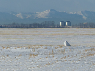A Snowy Owl makes all the difference