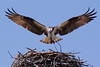 MAP10361 Osprey Home Improvement (maryanne.pfitz) Tags: pandionhaliaetus osprey raptor birdofprey bird landing nestbuilding nest wingspan wings sticks bluesky nature wildlife photo