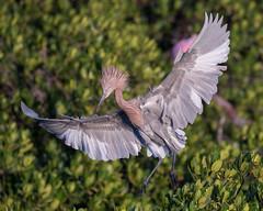 Reddish Egret Landing (dbadair) Tags: outdoor seaside shore nature wildlife 7dm2 canon florida bird reddish egret landing island