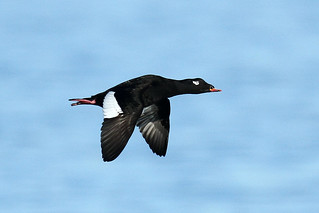 Melanitta fusca ♂ (White-winged Scoter) - Blaine WA