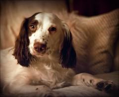 Cosy on the sofa (Missy Jussy) Tags: winternights rupert rupertbear cosy sofa dog indoor light animal englishspringer springerspaniel spaniel canon canon5dmarkll athome ef50mmf18ii