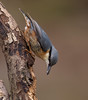 nuthatch (Tim Gardner pics) Tags: