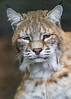 Sleepy lynx (Tambako the Jaguar) Tags: lynx wild cat male funny sleepy cute portrait face berlin tierpark germany nikon d5