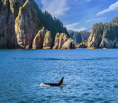 Orca (lgflickr1) Tags: orca alaska kenaifjords ocean water mountains killerwhale nationalpark trees animalplanet nikon d750 outdoor 70200mm calm rock green blue swimming mammal fin dorsalfin solitary single one alone nopeople