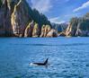 Orca (lgflickr1) Tags: orca alaska kenaifjords ocean water mountains killerwhale nationalpark trees animalplanet nikon d750